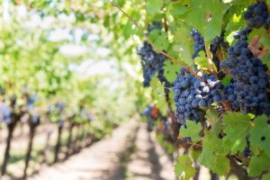 Ripe grapes in a California vineyard.